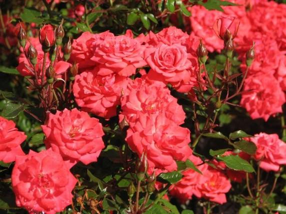 Відкриття нової експозиції троянд в