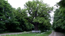 Кочубей-дуб